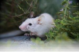 לוכד עכברים בגבעת שמואל